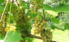 Особенности винограда Дублянский