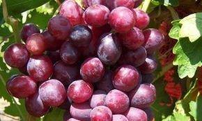 Дунав: сорт винограда, покоривший сердца виноградарей.