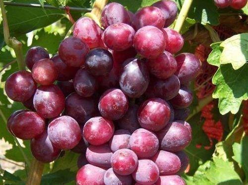 Виноград Дунав
