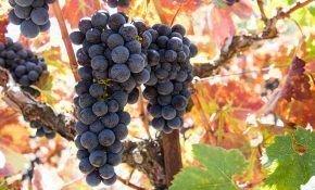 Особенности винограда сорта