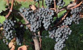 Характеристика винограда под названием Каберне совиньон