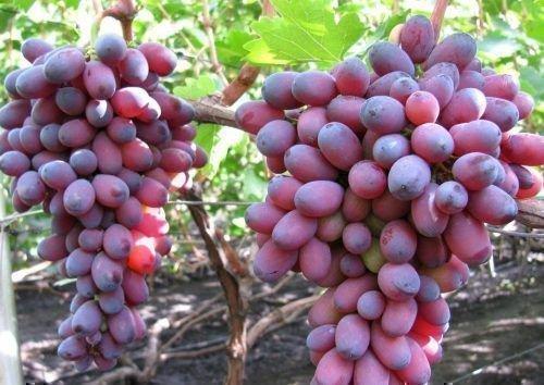 Виноград Кармакод на кусте