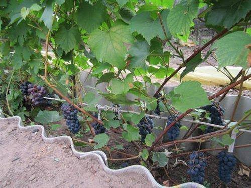 Виноград Катыр