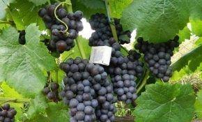 Описание сорта винограда Киевского