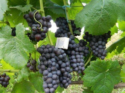 Виноград Киевский