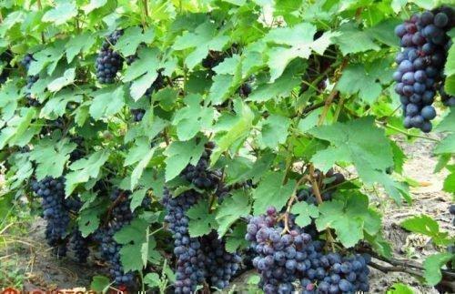 Виноград Киевский фиолетовый