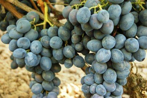 Виноград Консул
