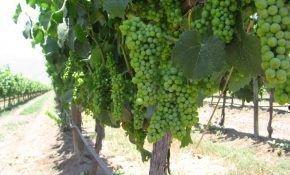 Характеристика винограда Коринка Русская