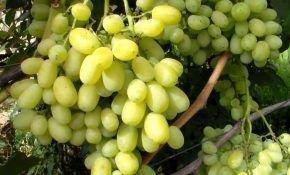 Особенности винограда Лора