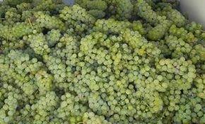 Характеристика винограда Луиза Свенсон