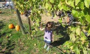 Выращивание винограда на даче: советы новичкам