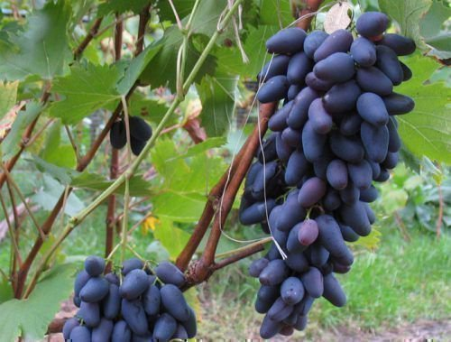 Виноград Оригинал гроздь