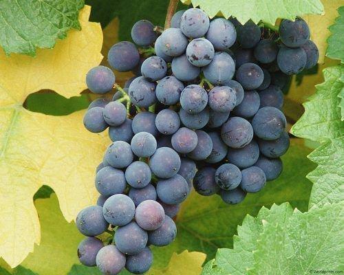 Виноград Рибье