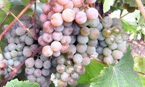 Описания винограда «Розовый жемчуг»