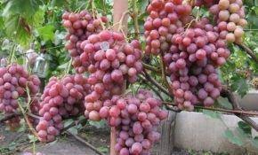 Виноград «Рубиновый юбилей»