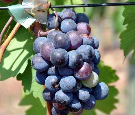 Виноград Рупетрис