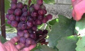 Сенатор Павловского -вкусный виноград