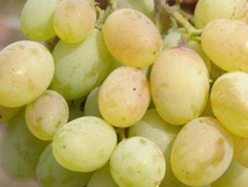Виноград сорта Алекса