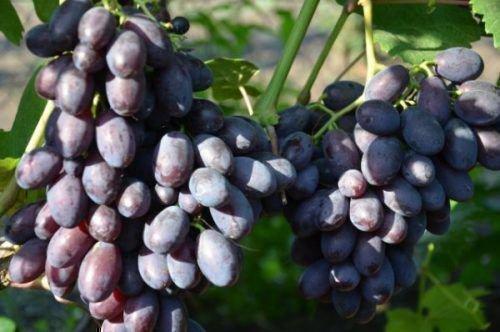 Виноград сорта Каталония