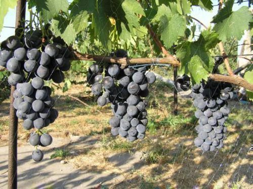 Виноград сорта Консул