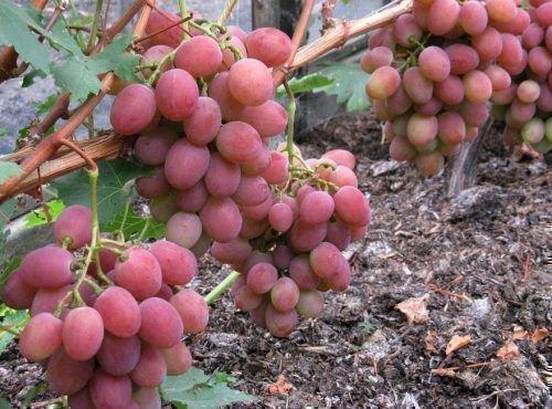 Виноград сорта Рубиновый юбилей