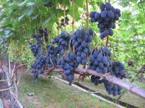 Виноград сорта Руслан