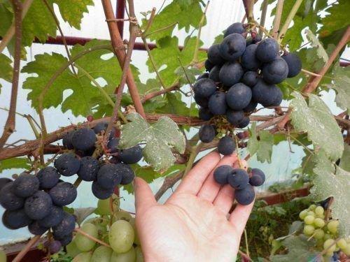 Виноград сорта Сташинский