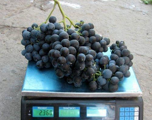 Виноград сорта Византия