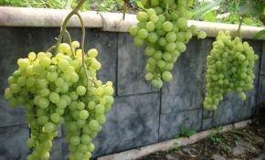 Посадка винограда в Сибири: советы для начинающих