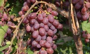 Преимущества и недостатки винограда Виктория