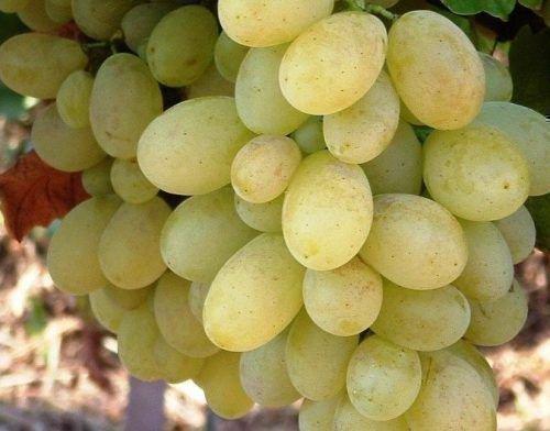 Виноград Виктория белый