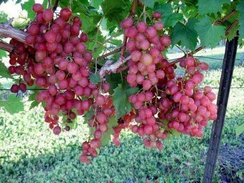 Виноград Виктория розовый
