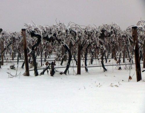 Виноградник зимой