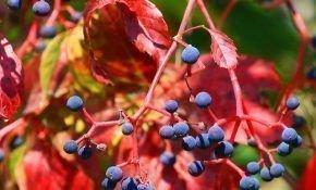 Ядовиты ли ягоды девичьего винограда