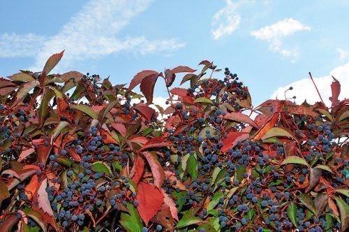 Ягоды девичьего винограда растут