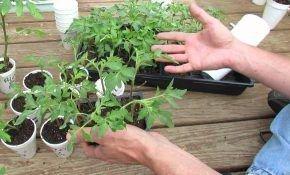 Как закаливать рассаду томатов (помидор)?