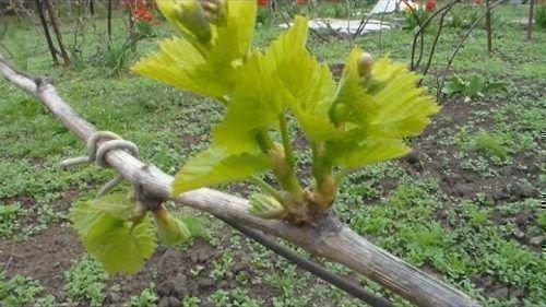 Зеленые работы на винограднике