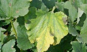 Почему желтеют листья у кабачков? Что делать и как бороться с этим?