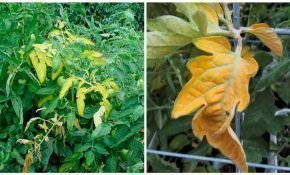 Желтеют нижние листья томатов, почему?