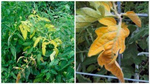 Желтые листья на ирматах
