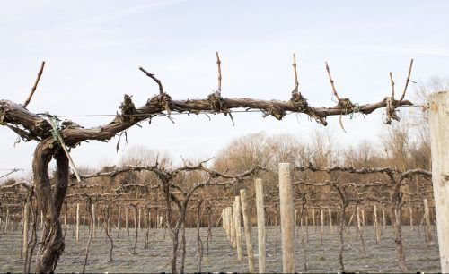 Зрелые виноградники