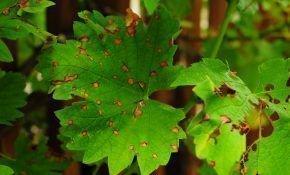 Распространенные болезни листьев винограда