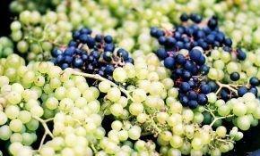 Как правильно хранить черенки винограда зимой