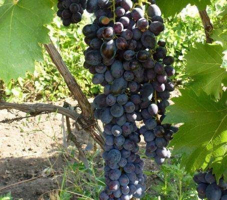 Виноград сорта Яся
