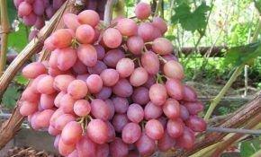 Отличие винограда кардинал от других сортов