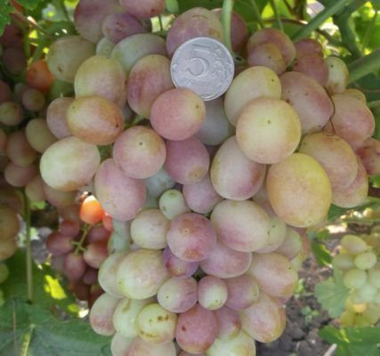 Гроздь винограда Королек