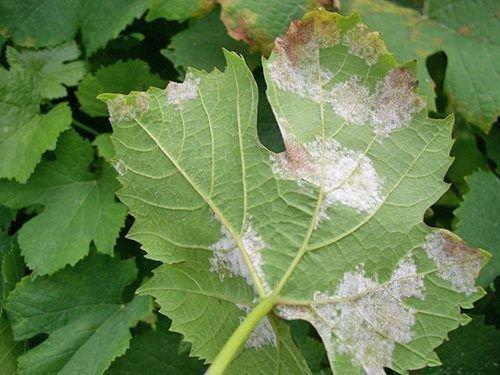 Пораженные милдью листья