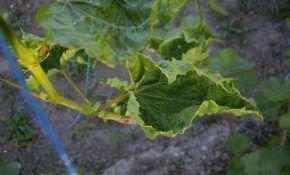 Почему скручиваются листья винограда