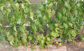 Как осуществлять подкормку винограда летом