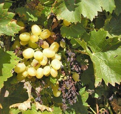 Заболевание виноградной грозди